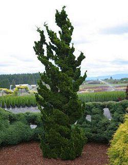 Spiralis Dwarf Hinoki Cypress · Garden NurseryUnique ...