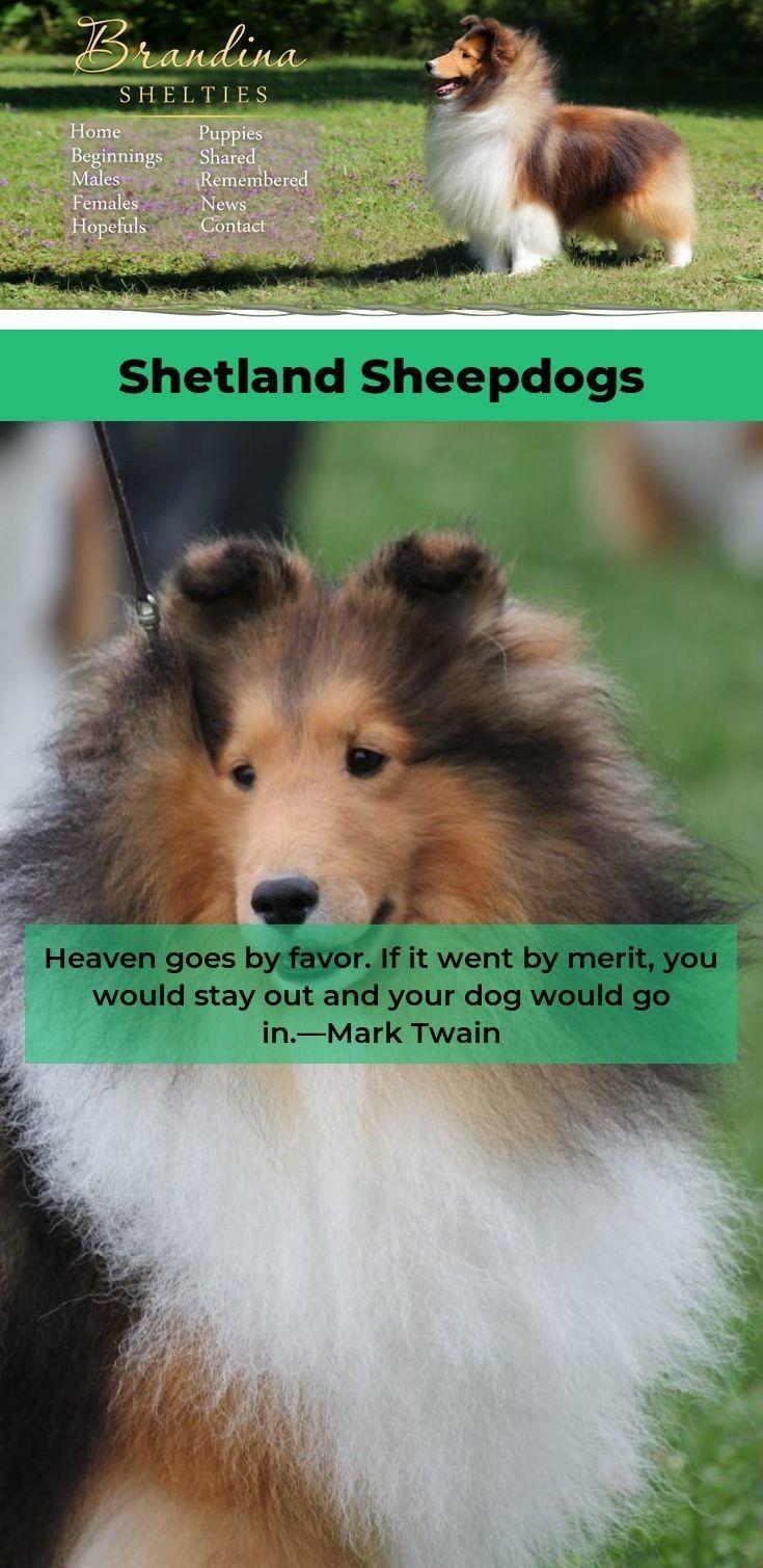 Shetland Sheepdog Shetlandsheepdogvalp Shetlandsheepdogvalp