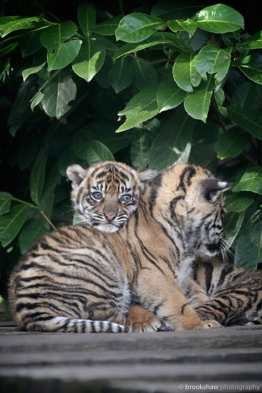 Sumatran Tiger Cubs at Chester Zoo from March 2015 brookshaw wildlife photography