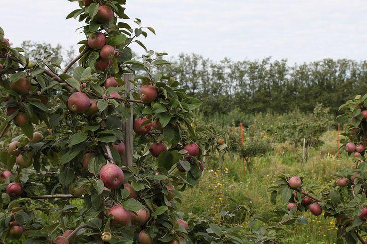 Alitalon Omenaviinitila | by visitsouthcoastfinland #visitsouthcoastfinland #Finland #apple #omena #omenaviini #viinitila #wineyard #wine