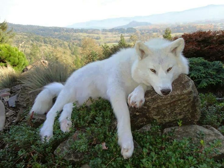 donner patte blanche 🐺le loup blanc (white wolf)