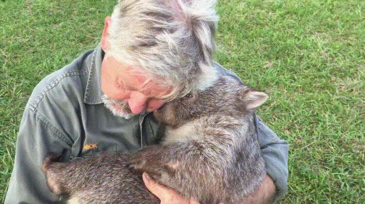 A ranger and his wombat - GIF on Imgur