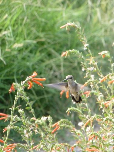 Zauchneria or Hummingbird Trumpet flower attracts hummers !