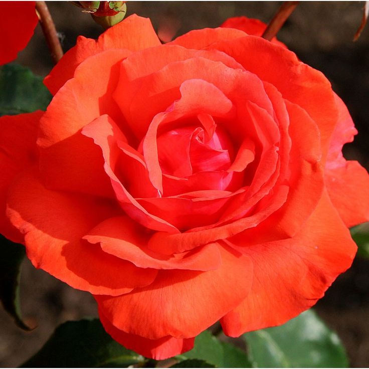 """Fragrant Cloud, Bred by Tantau of Germany. Large double, well- formed, coral-orange 5-6"""" blooms (petals 24) that produce a heady, luxuriant perfume. Bring them inside and fill the room with heavenly scent for days. An upright continual blooming bush with dark green, glossy foliage."""