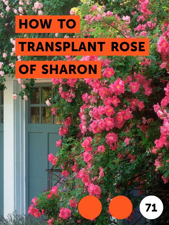 Properly Care For Rose Of Sharon With These Steps Planting Tips Right Pruning Deadheading And Taking Rose Of Sharon Tree Rose Of Sharon Bush Rose Of Sharon