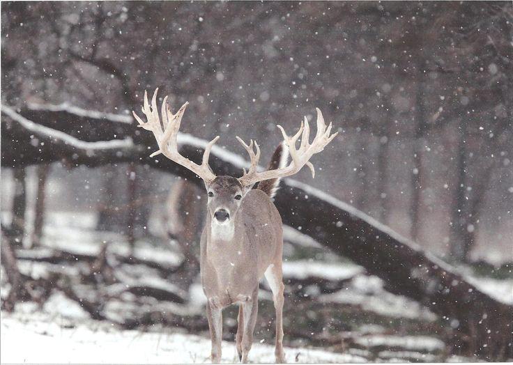 http://www.myhuntinglands.com/blog/wp-content/uploads/2013/01/4b8e976de7170_SNOW_DEER_003.jpg