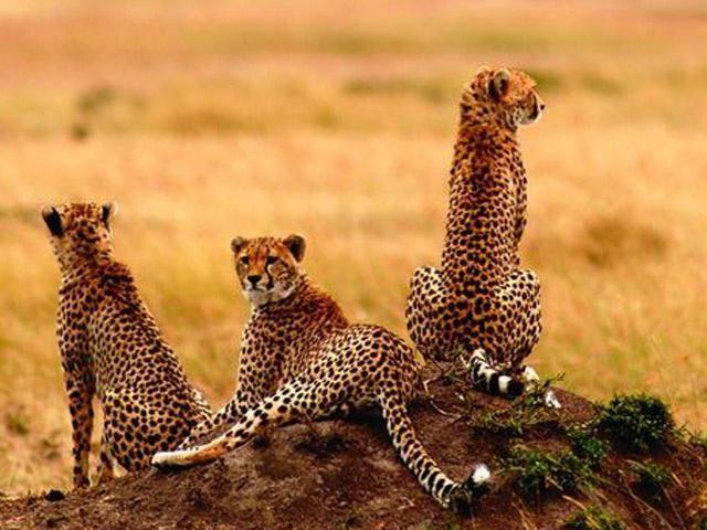 Cheetah from Amboseli National Park, Kenya