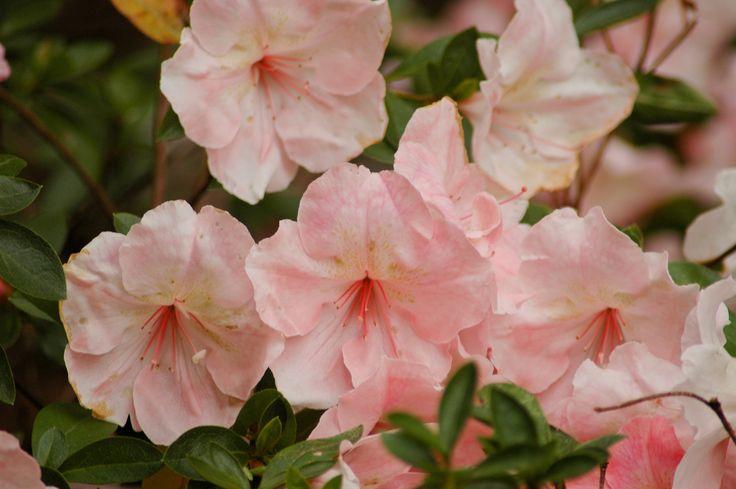 Pink azaleas (Rhododendron spp.)