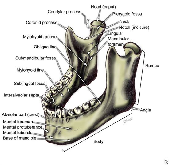 foamposite gold review The mandible  or jaw  is the lower jawbone in humans   DentalAnatomy  Mandible  Dentist  Dentistry  Dental
