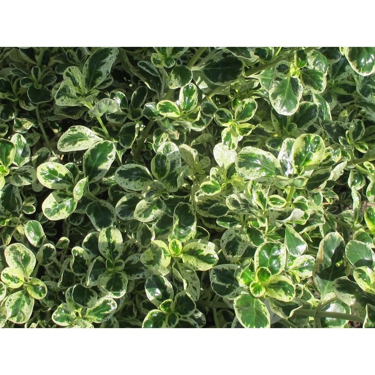 Coprosma repens (baueri) 'Marble Queen' - Variegated Foliage - 2-3' x 2-3'. full sun. low - moderate water. at LA nursery