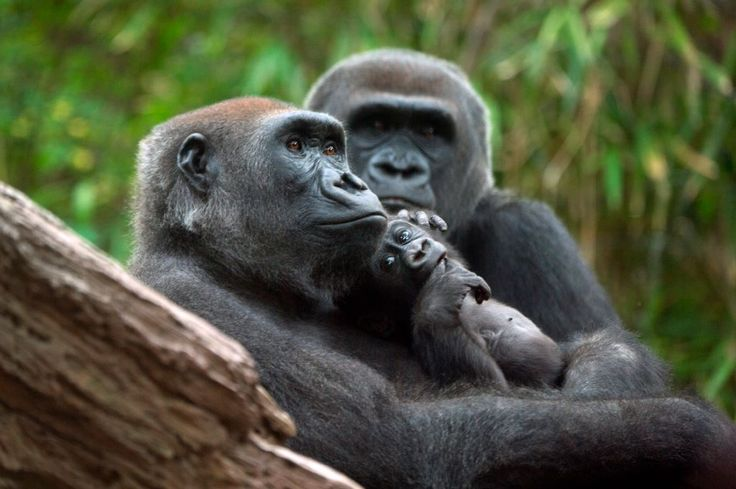 http://www.pinterest.com/kolyaCoupons/bronx-zoo-coupons/ Bronx Zoo Coupons Bring the family to the zoo and take advantage of this beautiful weather. Stop by Congo Gorilla Forest and check out some of our favorite primates enjoying the sunshine.