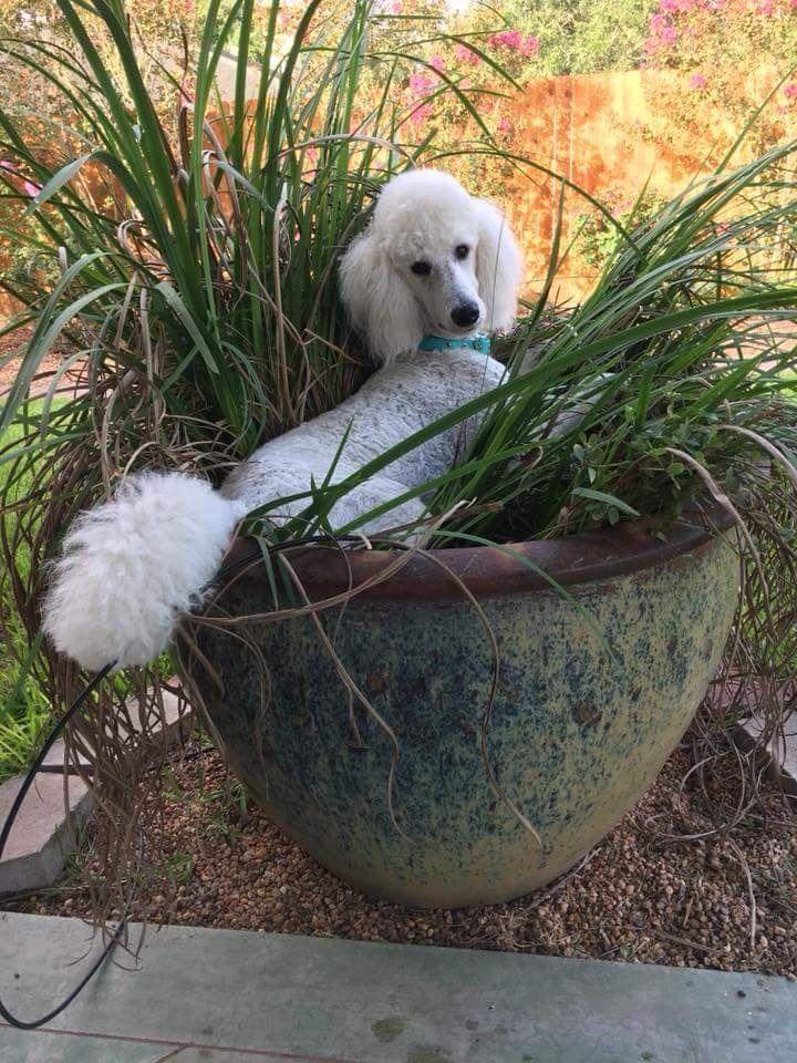 Comfy Poodle Dog Dog Breeds Large Dog Breeds