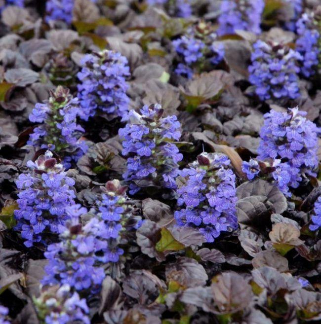 Ideal Bodendecker Pflanzen Kriechender blau dunkle blaetter Guensel Ajuga reptans