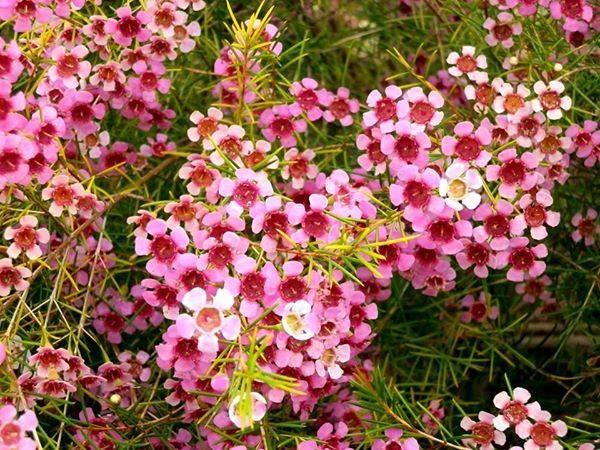 73 best west australian flowers images on pinterest