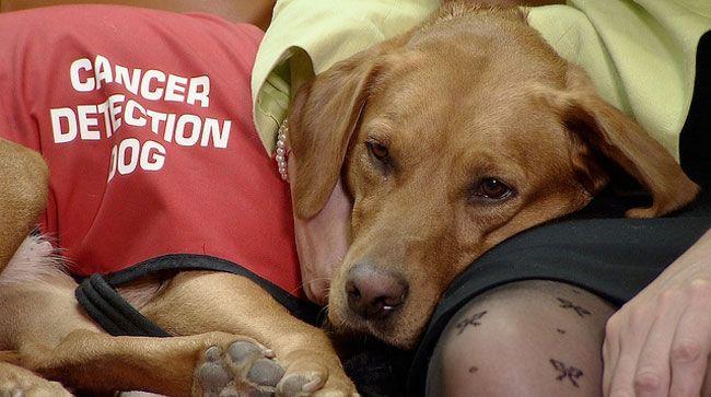 2La naturaleza dandones sus beneficios: Perros entrenados en detección de cancer. Bien por esa¡