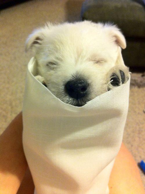 Westies, Westies, Westies! • druzana: Puppy burrito!
