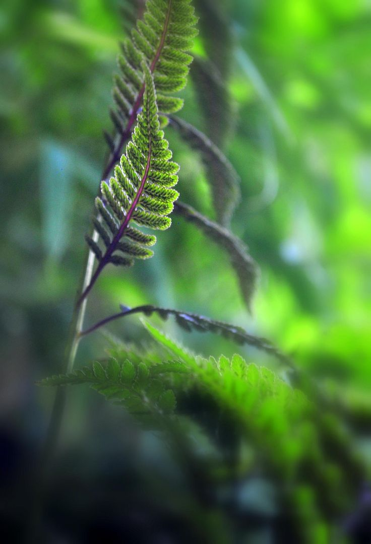 Japanese Painted Fern Frond - null