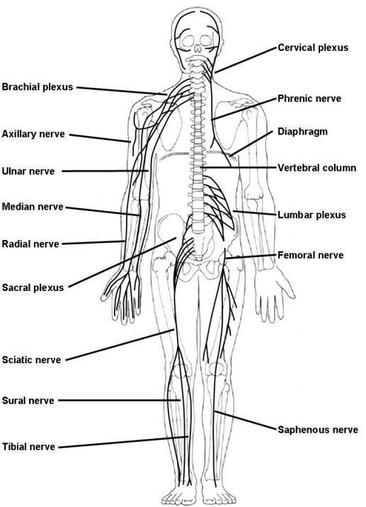 nerve plexus model - Google Search