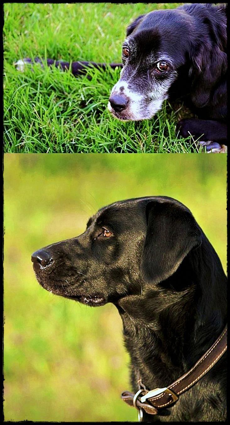 Labrador And Cocker Spaniel Mix Incredible Labradorfacts