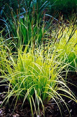 RHS Plant Selector Carex elata 'Aurea' AGM / RHS Gardening