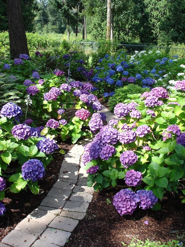 best  hydrangea bush ideas only on   hydrangea, Beautiful flower
