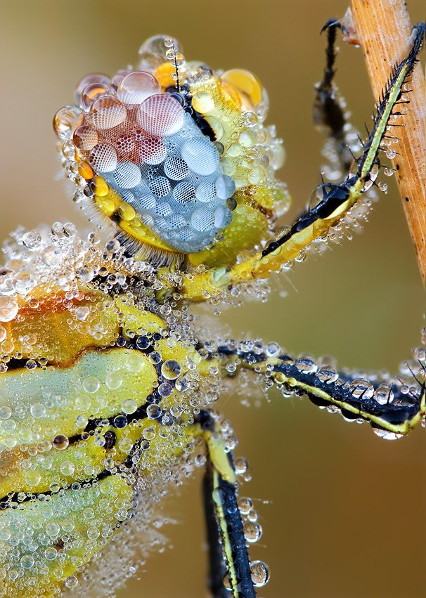Dragonfly covered in dewdrops.