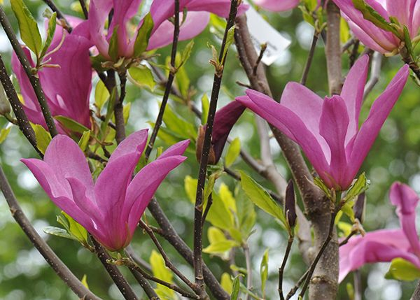 Magnolia 'Susan' - A bushy, upright shrub with large mid-green leaves. From mid spring to midsummer, narrow goblet-shaped, fragrant flowers emerge from slender, dark burgundy buds. These open to slightly twisted petals which are burgundy on the outside and paler on the inside. A glorious deciduous magnolia that makes a lovely specimen for a small garden with acidic soil.
