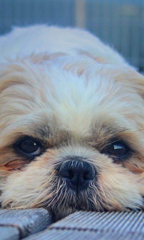 480x800 Wallpaper shih tzu, dog, muzzle, look, furry