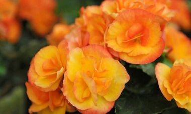 Begonia 'Nonstop Fire', Tuberhybrida Begonia Nonstop Fire, Fire Non Stop Begonia, Begonia Non Stop Fire, shade loving plants, summer flower bulbs, shade plants, Shade flowers, shade loving flowers
