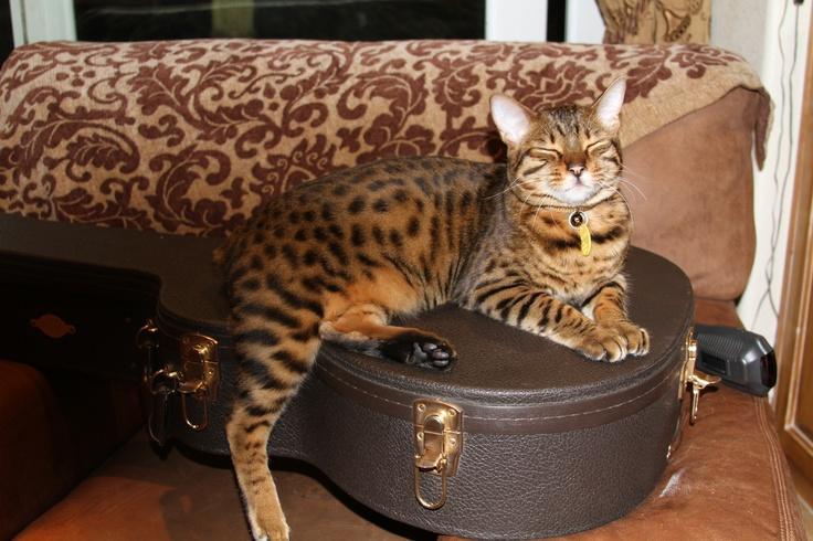 "Mokave cat ""guitar anybody?"" Maui Cats, Large cat"