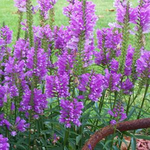 Purple Obedient plant....my favorite garden perennial.  Beautiful blooms gradually open in August and last through the fall!  It's an Indiana native wildflower.  It comes in white too:~)