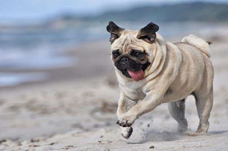 The Pug Temperament & Personality - http://weloveourpugs.net/pug-temperament-personality/