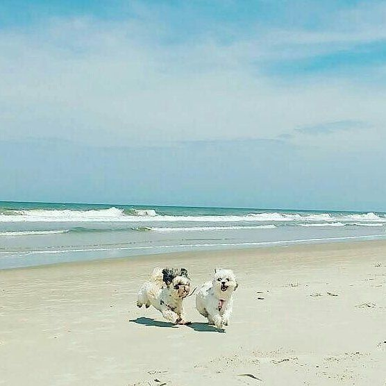Quanto manca prima che torni la bella stagione?  Vogliamo il sole e il mare! Foto di: @heloisa_fernandess  #BauSocial  #dogs #tina #boris #sol #domingão #cane #cani #maltese #maltesino #maltesini #sea #ocean #mare #italia #friends #happy #milano #summer #sky #beach #love #amazing #beautiful