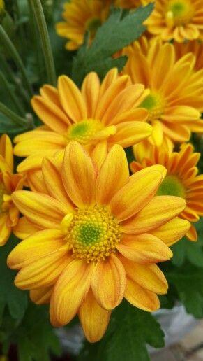Yellow Chrysant