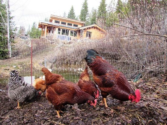 """""""Use Your Chickens as Compost Workers"""" If you have backyard chickens and you are not using them as composters, you are missing a valuable resource right at your fingertips. There are so many benefits to using your chickens, and it's such a natural process for composting. MOTHER EARTH NEWS Blog."""