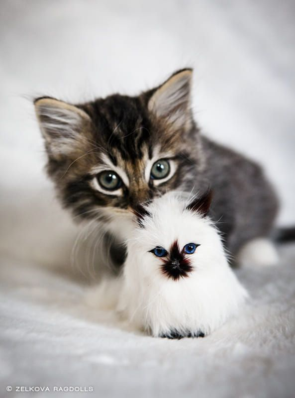 Brown Tabby Kitten By Zelkova Ragdolls On 500px Tabby Kitten