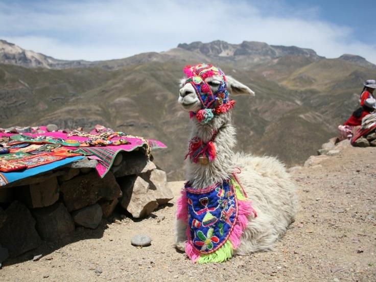 Peru--the decorated llama.