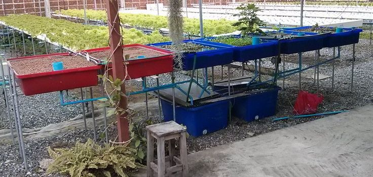 1000 images about aquaponics thailand on pinterest for Raising tilapia in a pool