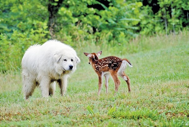 Great Pyrenees meets Bambi - Don't worry that baby is only in danger of being cuddled to death lol