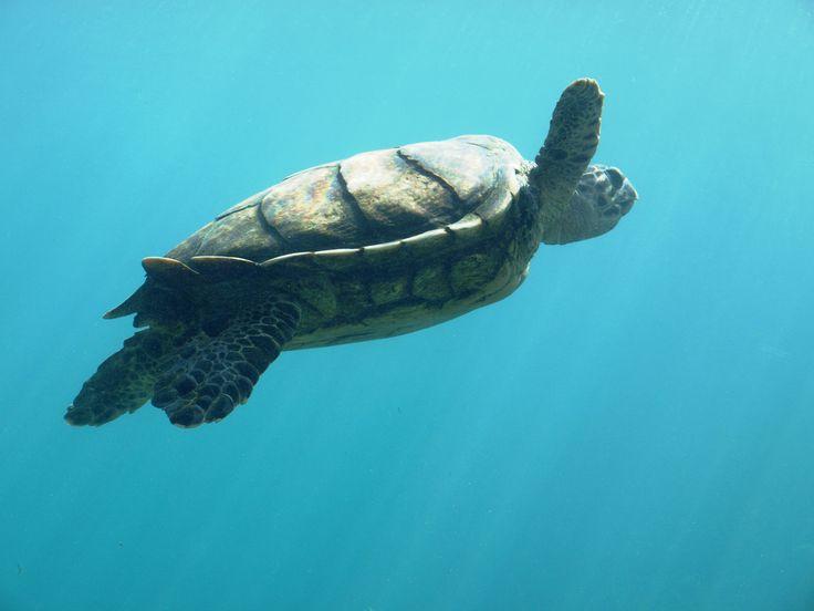 kelonia : la ferme aux tortues. Ile de la Reunion.