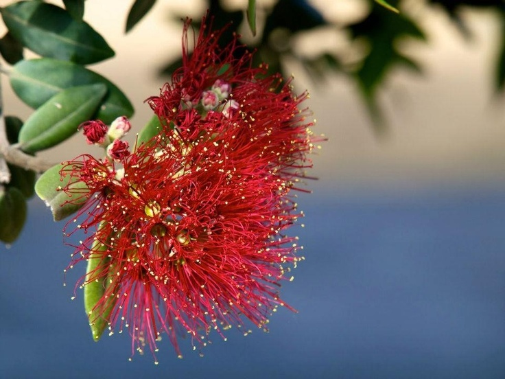 Pohutakawa tree flower. New Zealand Xmas 2012. Photo Mark Roberts.