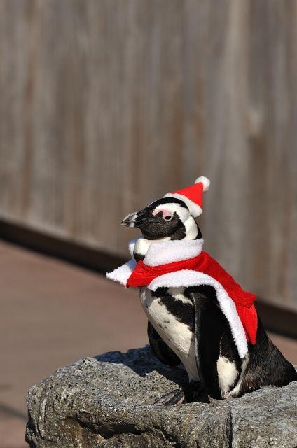 ペンギンサンタ : Xmasサンタクロース画像 【かわいい動物】と【面白サンタ】 - NAVER まとめ