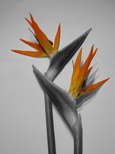 Birds of Paradise | Named for their similarity in shape to the heads of tropical birds, these have multicolored 6-inch flowers held inside green, pointed bracts. Their blooms are commonly bright orange with purple and live one to two weeks.