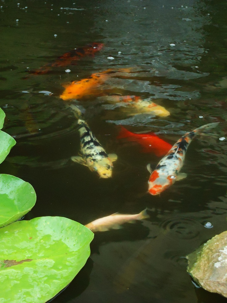 13 best images about garden pond on pinterest gardens for Best pond fish