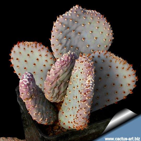 Opuntia basilaris var. caudata - got it May 2014.  Not clay tolerant, keep dry in winter and in full sun.