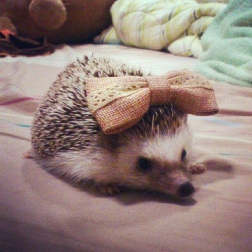 hedgehog with a bow! Nothing is cuter than this