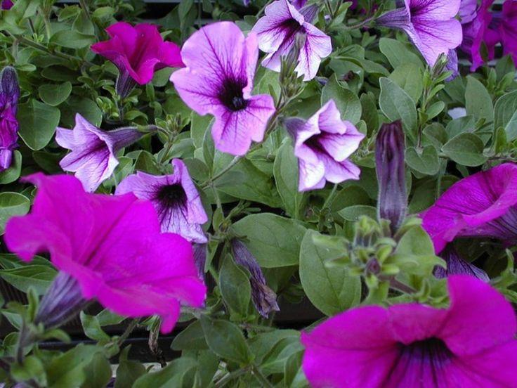 Tapeta Fialové květiny 800x600