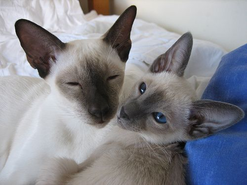 One Seal and One Blue Point Siamese   Siamese Cat