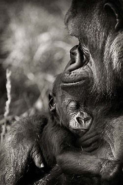 Sweet moment between mommy and baby gorillas.