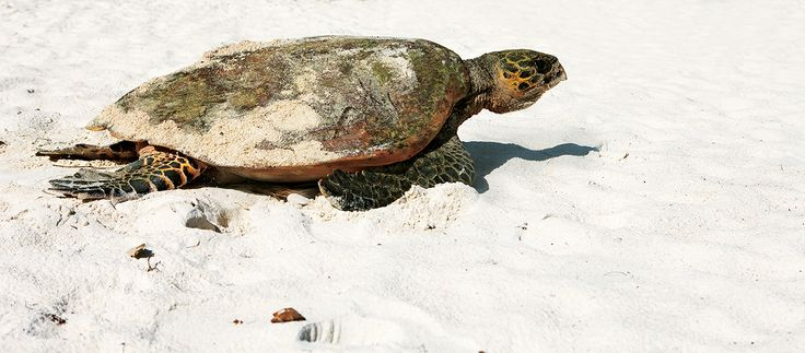 Observe the sea turtle laying their eggs in the Seychelles - Constance   Lémuria